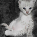 Sitting Savannah Kitten
