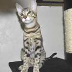 F6 Savannah Kittens Ver0417fla