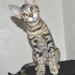 F6 Savannah Kittens Ver0417flb