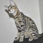 F6 Savannah Kittens Ver0417flc
