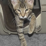 F7 Savannah Kittens Maram0512b