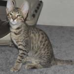 F7 Savannah Kittens Maram0512a