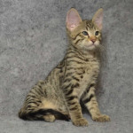 F6 Savannah kittens Verm21205c