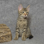 F6 Savannah kittens Verm21205d