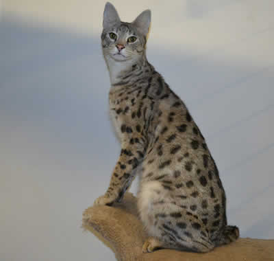 f1 savannah cat queens mommies of our f2 savannah kittens for sale. Black Bedroom Furniture Sets. Home Design Ideas