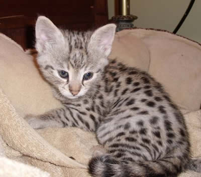 F1 Savannah Cat Queens F2 Savannah Kittens For Sale - Cute