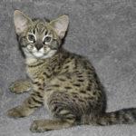 F2-savannah-kittens-leg0106g1i