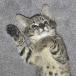 F2 savannah kittens leg0106g1l