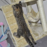 F2 savannah kittens leg0106g1o