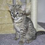 F2 savannah kittens leg0106g1p
