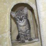 F2 savannah kittens leg0106g1q