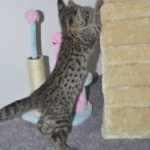 F2 savannah kittens leg0106g1s