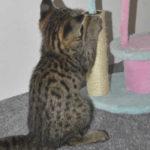 F2 savannah kittens leg0106g1t