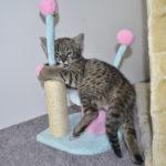 F2 savannah kittens leg0106g1u
