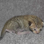 F6-savannah-kittens-v08122016m1a