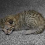 F6-savannah-kittens-v08122016m1c