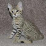 f6-savannah-kittens-v08122016m1g