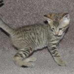 f6-savannah-kittens-v08122016m1h
