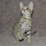 f6-savannah-kittens-v08122016m1i