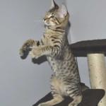 SBT Savannah Kittensmnb1a