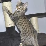 SBT Savannah Kittensmnb1c