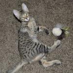 SBT Savannah Kittensmnb1d