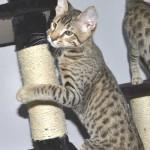 SBT Savannah Kittensmnb1e