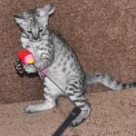 savanah kittens ocf0923b