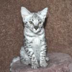 savanah kittens ocf0923c