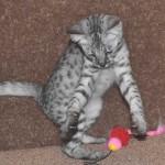 savanah kittens ocf0923e
