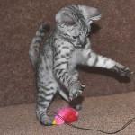 savanah kittens ocf0923g