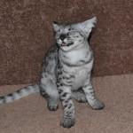 f2-savanah-kittens-ocf1008b