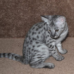 f2-savanah-kittens-ocf1008d