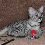 f2 savanah kittens ocf1008f