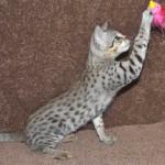 f2 savanah kittens ocm0923b