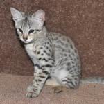 f2 savanah kittens ocm0923c