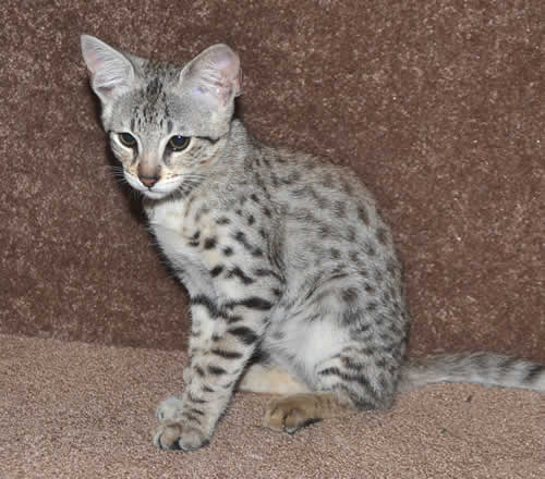 Cheap Savannah Cats For Sale In Ohio