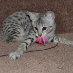 f2 savanah kittens ocm0923d