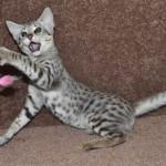 f2 savanah kittens ocm0923e