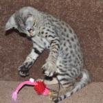 f2 savanah kittens ocm0923g