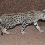 f2 savanah kittens ocm0923h