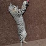 f2-savanah-kittens-ocm1008b