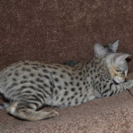 f2-savanah-kittens-ocm1008f