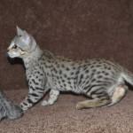 f2 savanah kittens ocm1008g