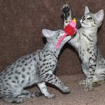 f2-savanah-kittens-ocm1008h