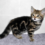 f2 savannah kittens leg0128fc