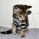f2 savannah kittens leg0128fd