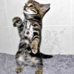 f2 savannah kittens leg0128fe