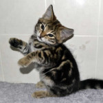 f2 savannah kittens leg0128ff