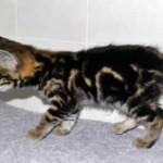 f2 savannah kittens leg0128fg